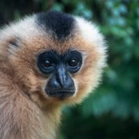 Goudwanggibbon - Yellow-cheeked gibbon