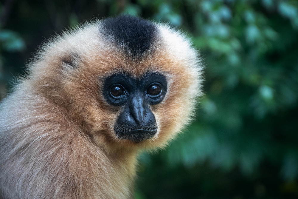 Goudwanggibbon - Yellow-cheeked gibbon