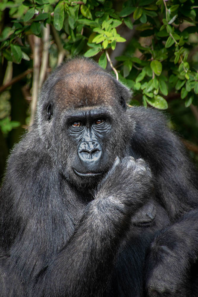 Makoua: Westelijke laagland gorilla - Western lowland gorillanimals