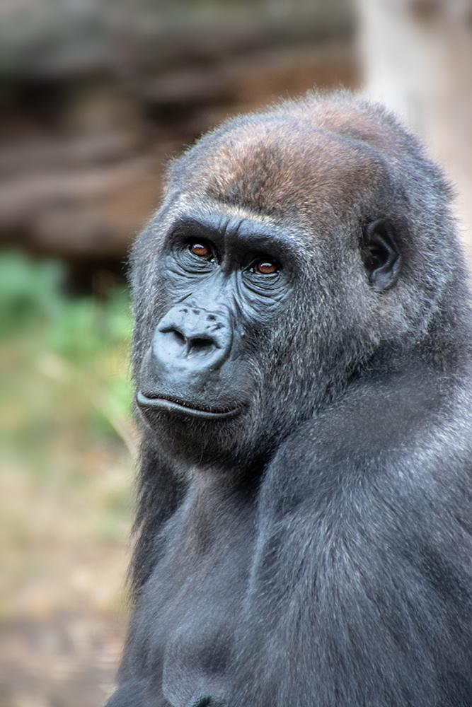 Westelijke laagland gorilla - Western lowland gorilla
