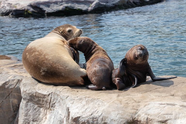 Californische zeeleeuwen - California sea lions