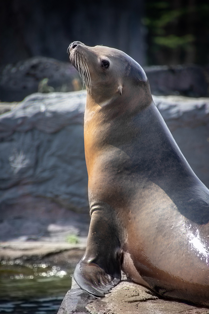 Californische zeeleeuwen - California sea lions