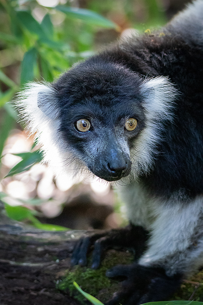 Gordel lemur - White-belted Black-and-white Ruffed Lemur