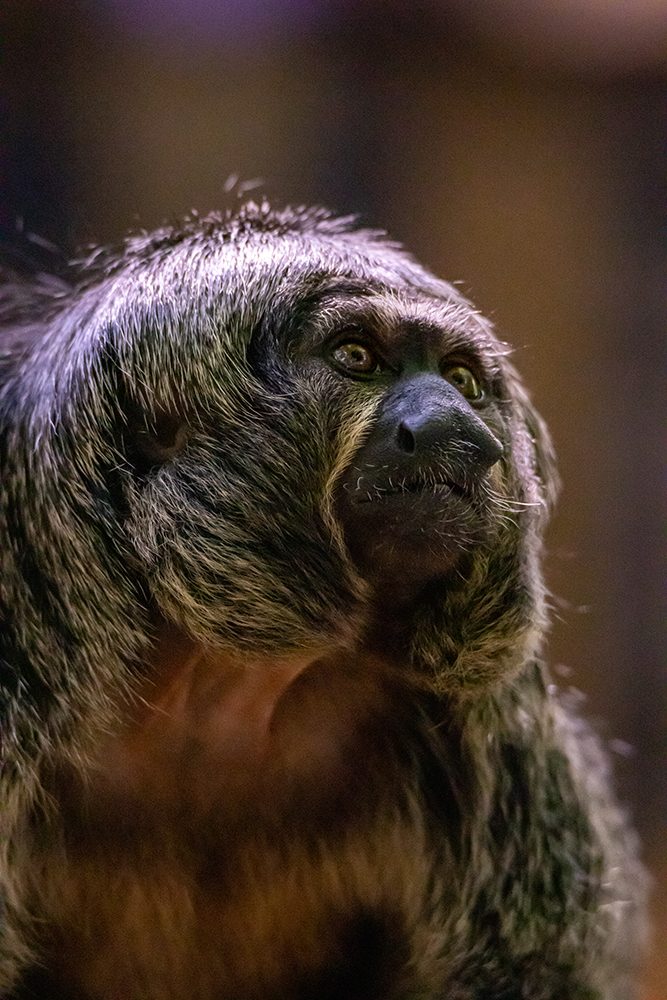 Witgezicht saki - White-faced saki