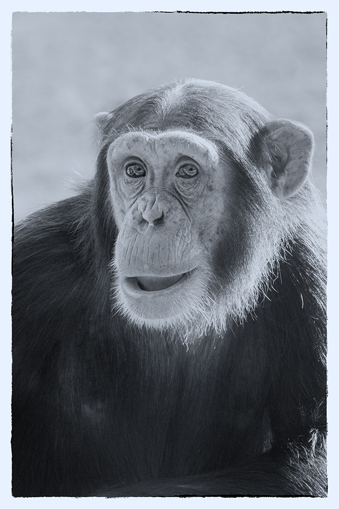 Chimpansee - Chimpanzee (Dierenpark Amersfoort)