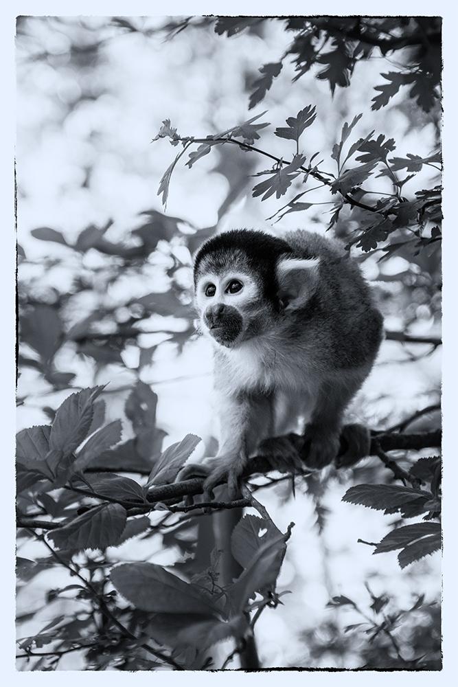 Boliviaans doodshoofdaapje - Black-capped squirrel monkey (Apenheul, Apeldoorn)