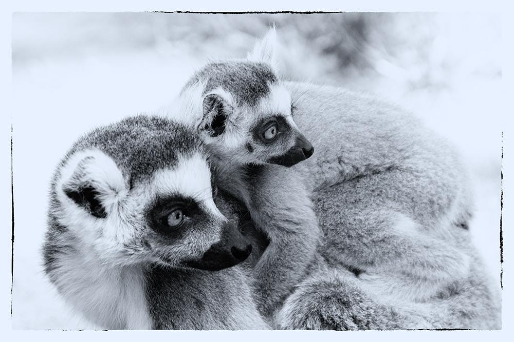 Ringstaartmaki - Ring-tailed lemur (Apenheul, Apeldoorn)