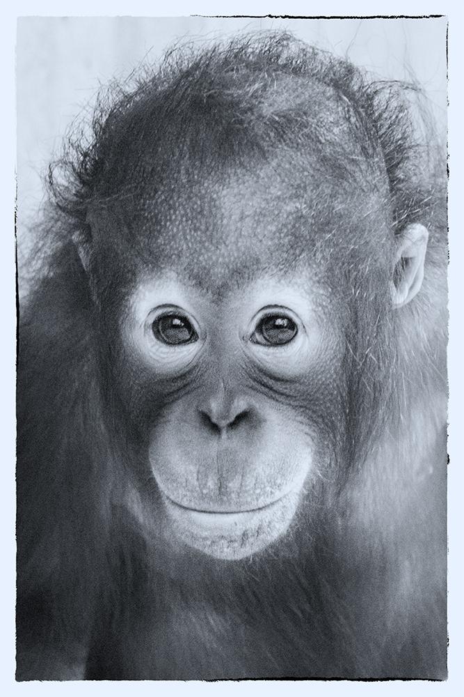 Orang oetan - Orangutan (Ouwehands Dierenpark, Rhenen)