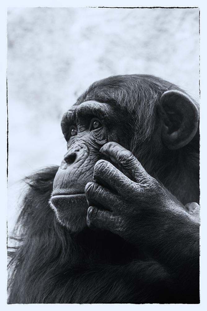 Chimpansee - Chimpanzee (ZOOM Erlebniswelt, Gelsenkirchen)