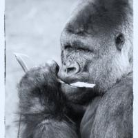 Bouwi, Gorilla (Burgers Zoo, Arnhem)