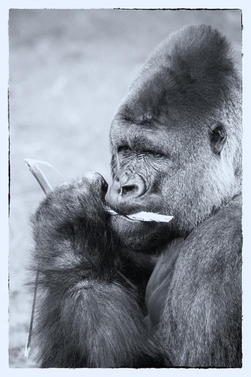 Monochrome primaten