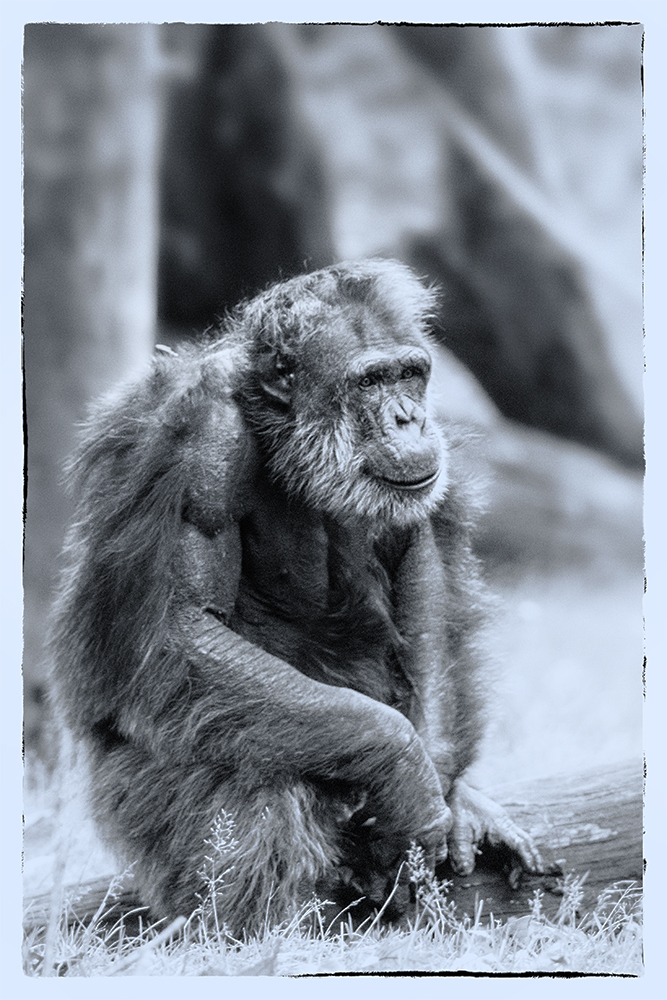 Chimpansee - Chimpanzee (Burgers Zoo, Arnhem)