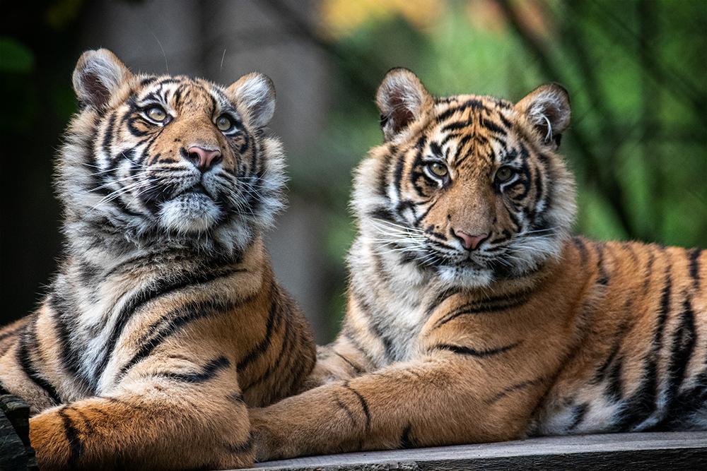 Sumatraanse tijgers - Sumatran tigers
