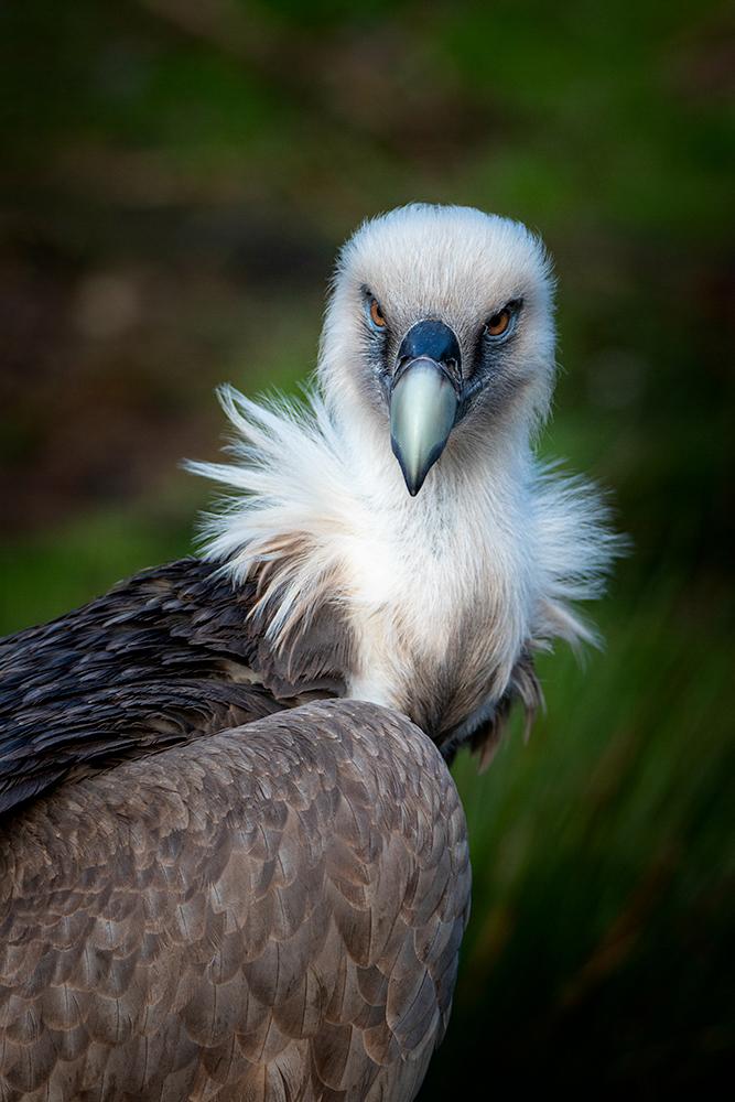 Vale gier – Griffon vulture
