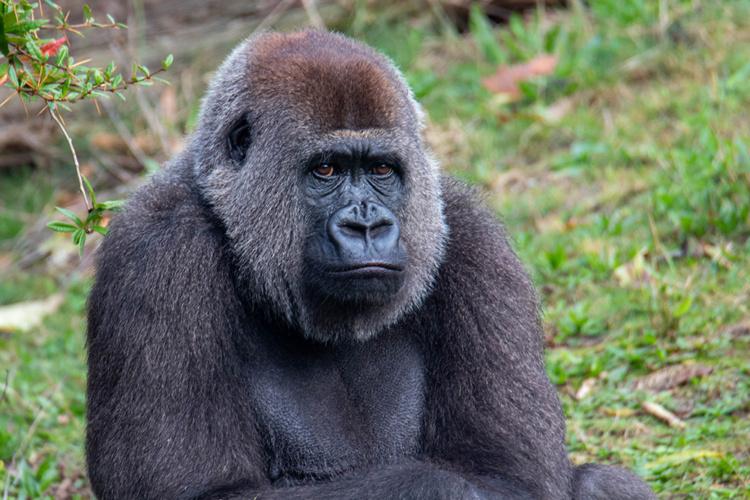 Gorilla portretten