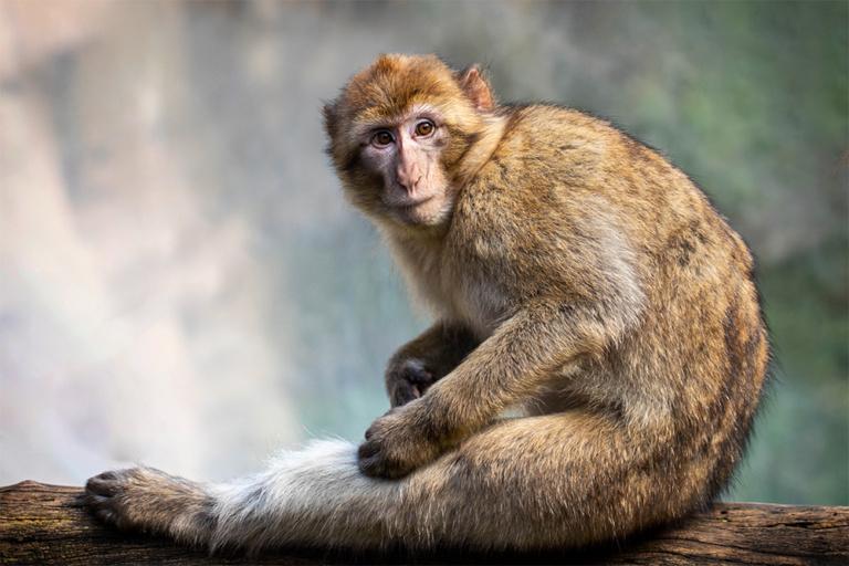 Berberaap - Barbary macaque