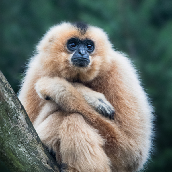 Yellow-cheeked gibbon in Burgers Zoo
