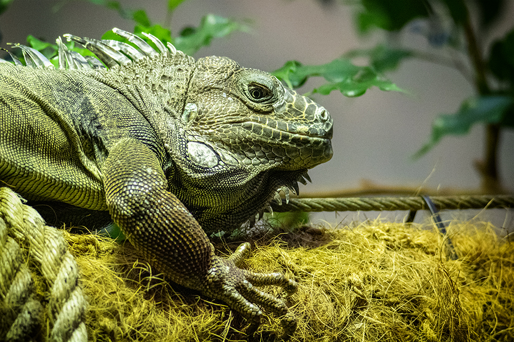 Leguaan - Iguanids
