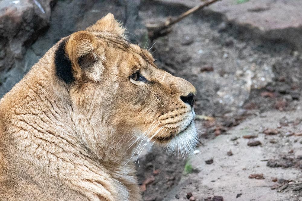 Leeuwin - Lioness
