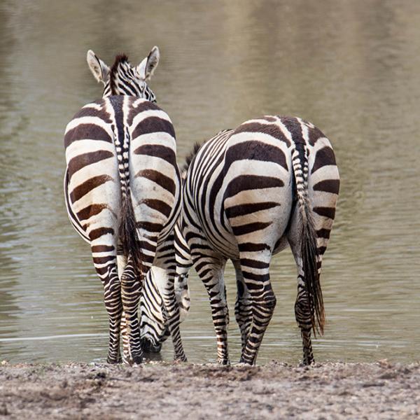 Zebras in Burgers Safari