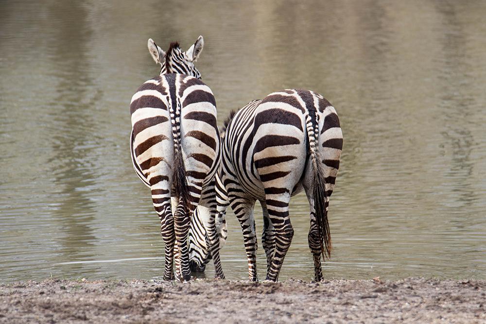 Grant's zebra's