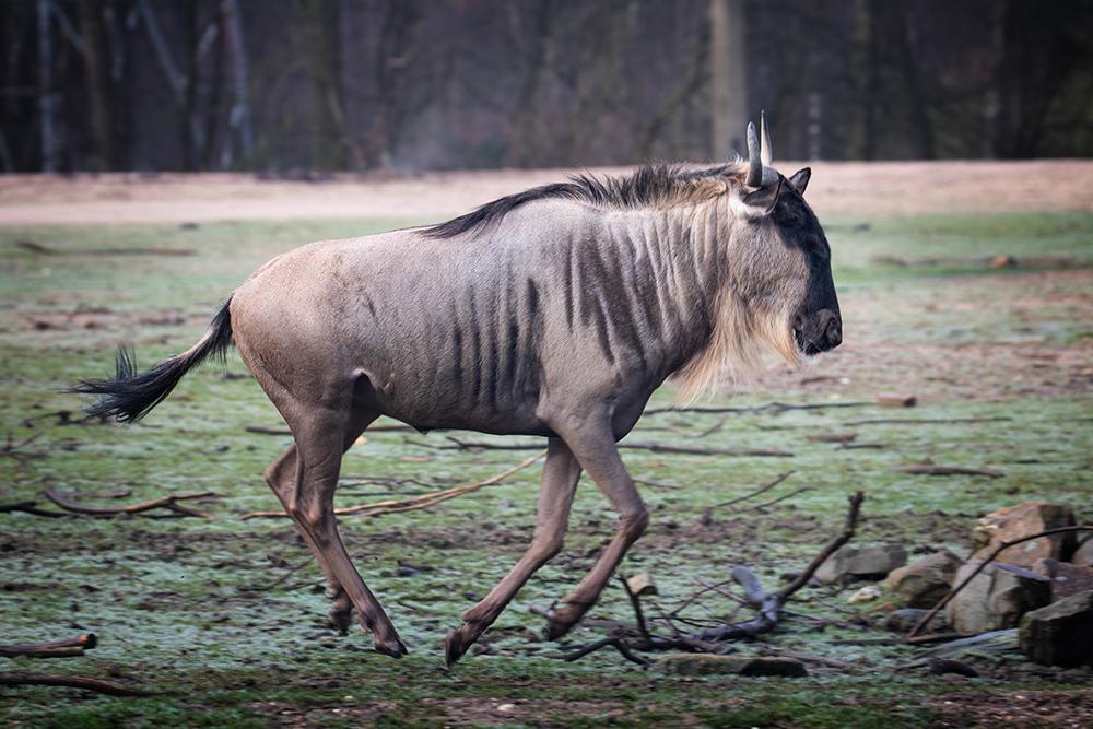 Gnoe - Wildebeest