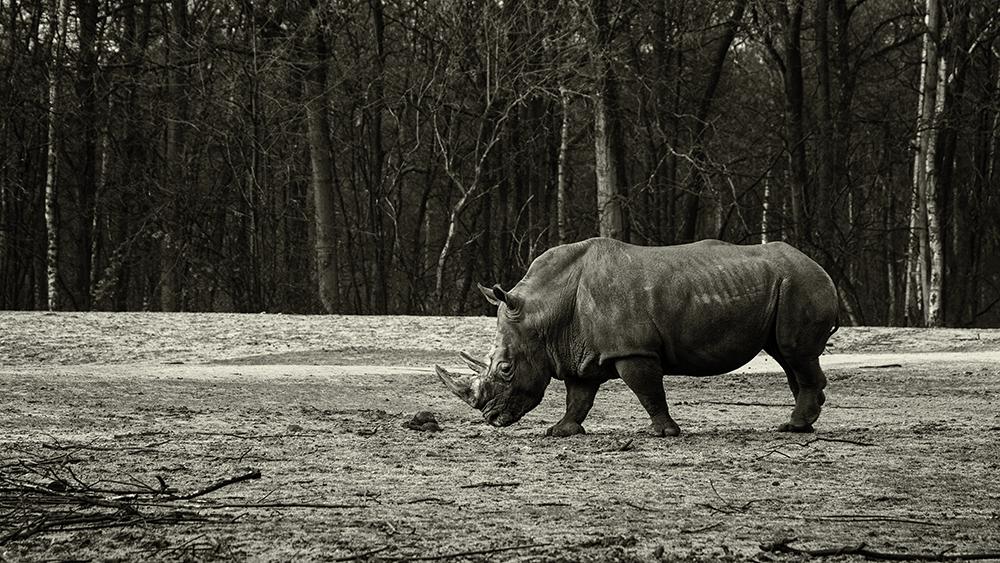 Breedlipneushoorn - White rhinoceros