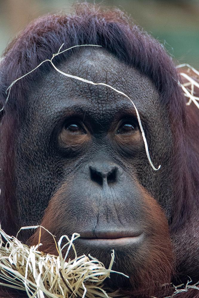Orang-oetan - Orangutan