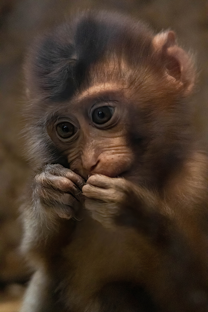 Laponder baby - Pig-tailed macaque baby