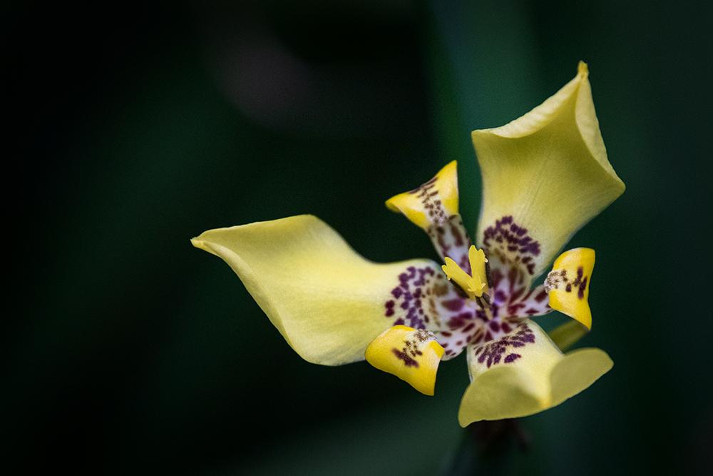 Trimezia steyermarkii / Neomarica longifolia