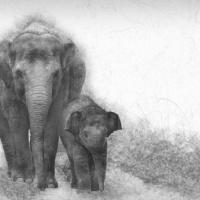 Aziatische olifant met baby - Asian elephant with baby