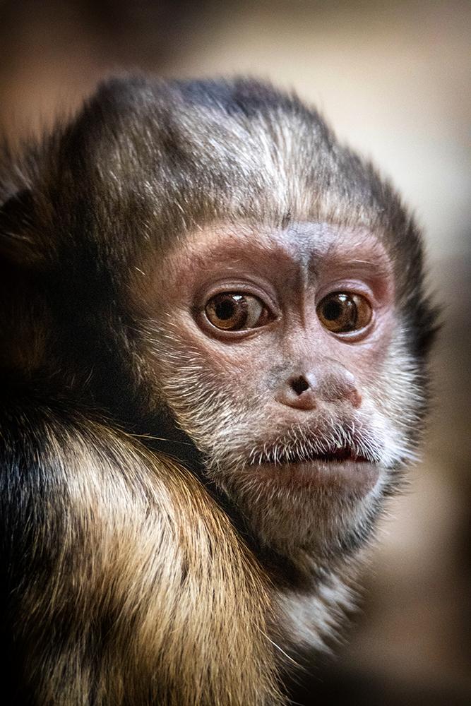 Geelborstkapucijnaap - Golden-bellied capuchin