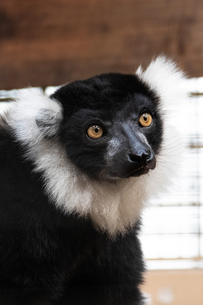 Zwart witte vari - Black and white ruffed lemur