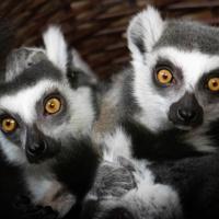 Ringstaartmaki - Ring-tailed lemur