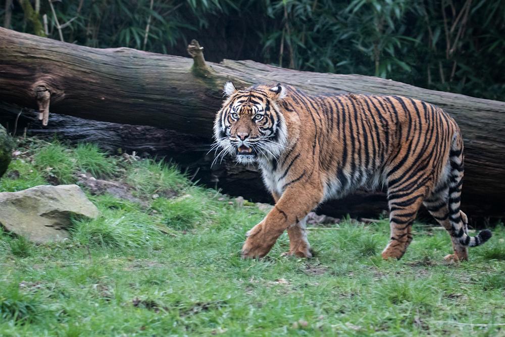 Tijger - Tiger