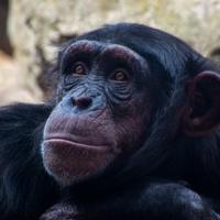 Chimpansee - Chimpanzee