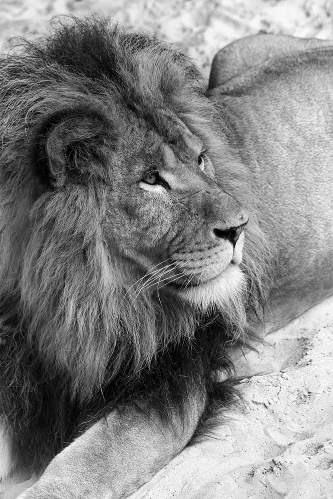 Lion (Noorderdierenpark 2013)