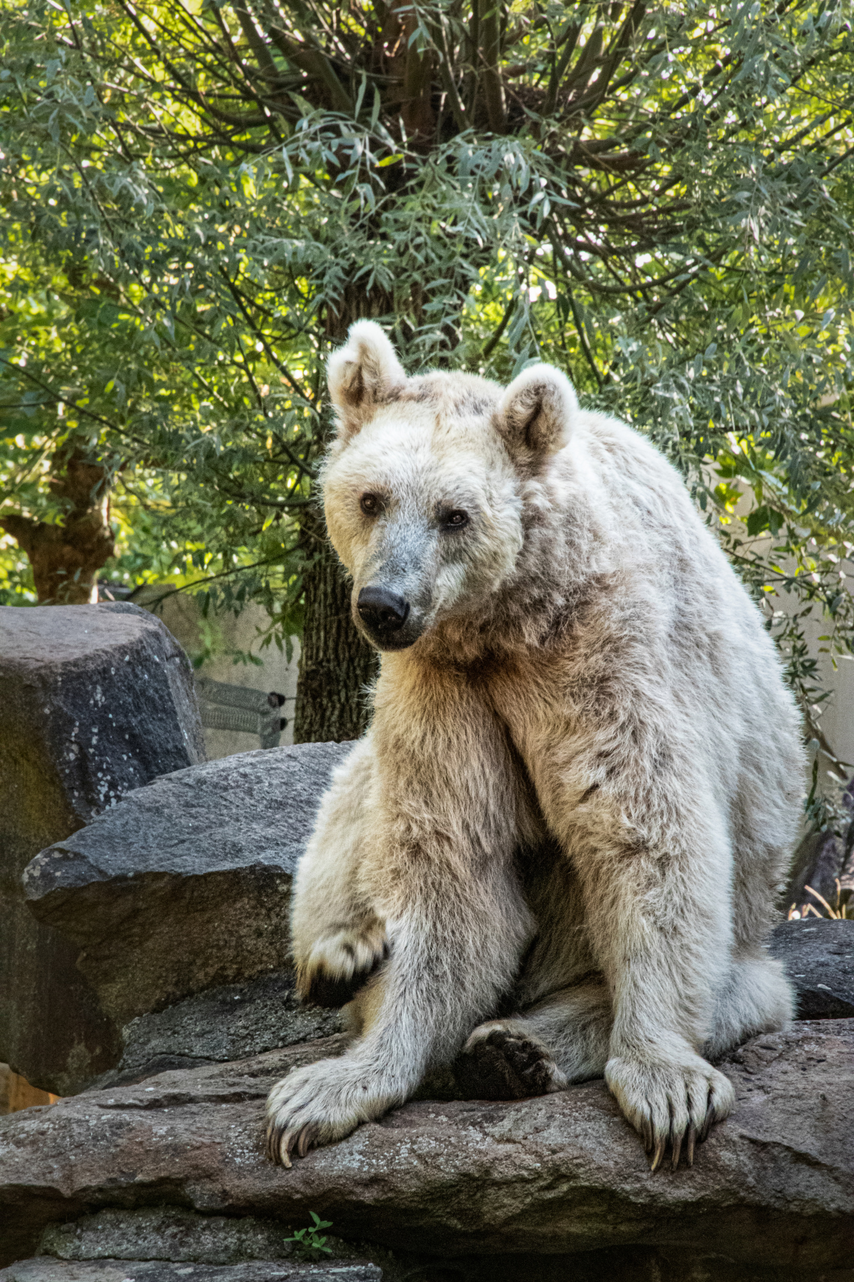 Syrische beer - Syrian brown bear (Allwetter Zoo)