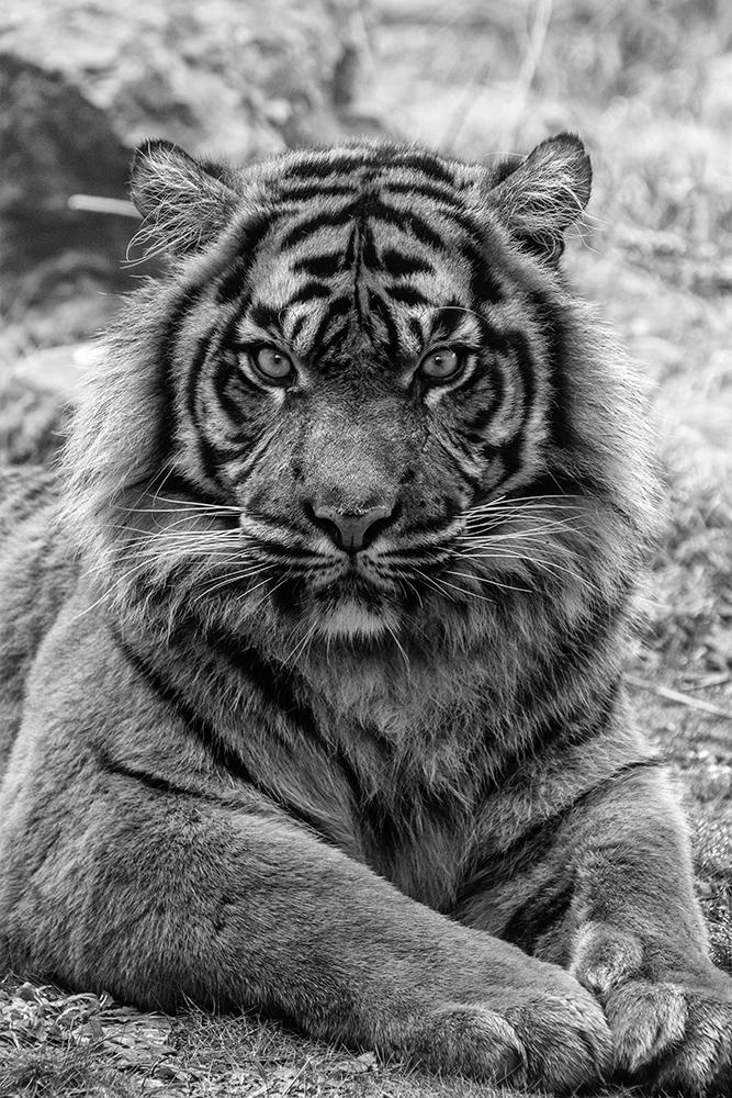 Sumatraanse tijger - Sumatran tiger (Burgers Zoo 2019)