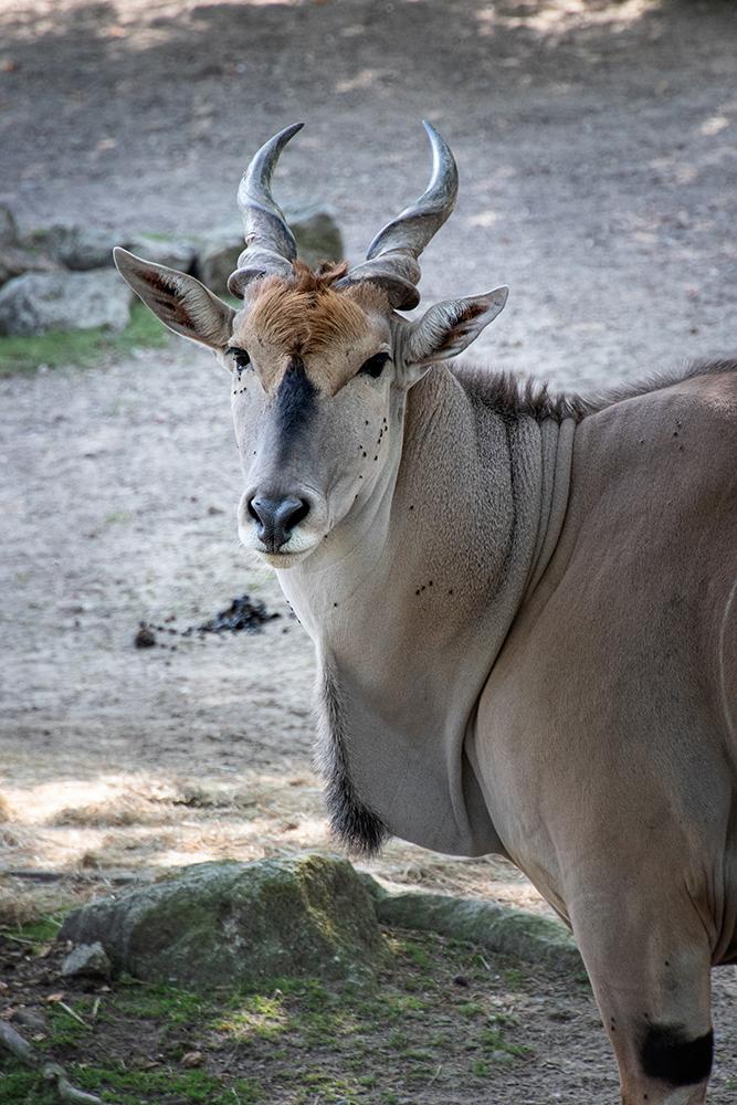 Eland antilope - Elantilope (Allwetter Zoo)