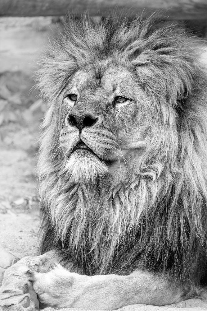 Leeuw - Lion (Artis 2015)