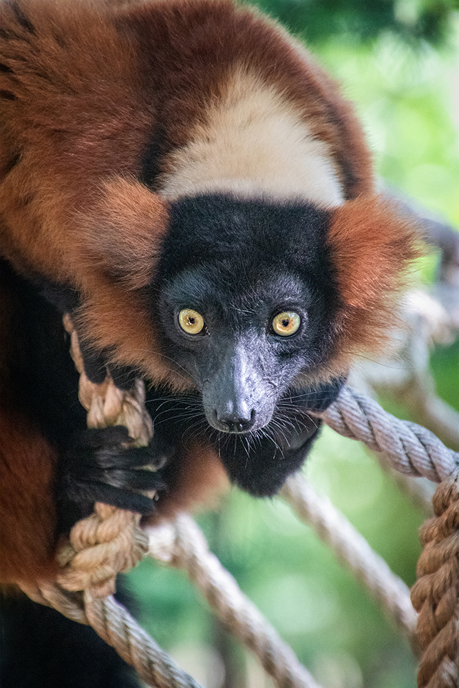 Rode vari - Red ruffed lemur (Apenheul)
