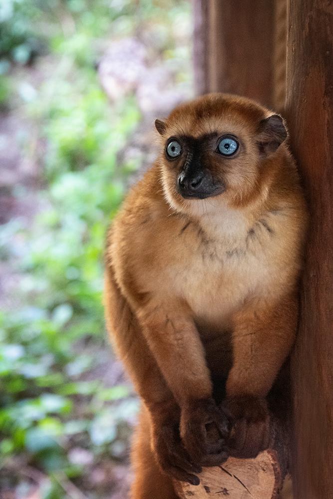 Blauwoogmaki - Blue-eyed black lemur (Apenheul)