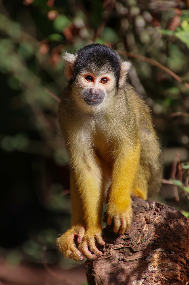 Boliviaans doodshoofdaapje - Black-capped squirrel monkey (Apenheul))