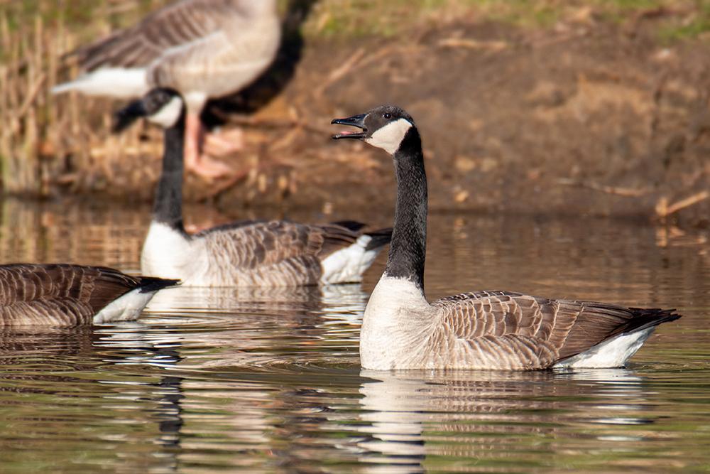 Canada gans - Canada goose