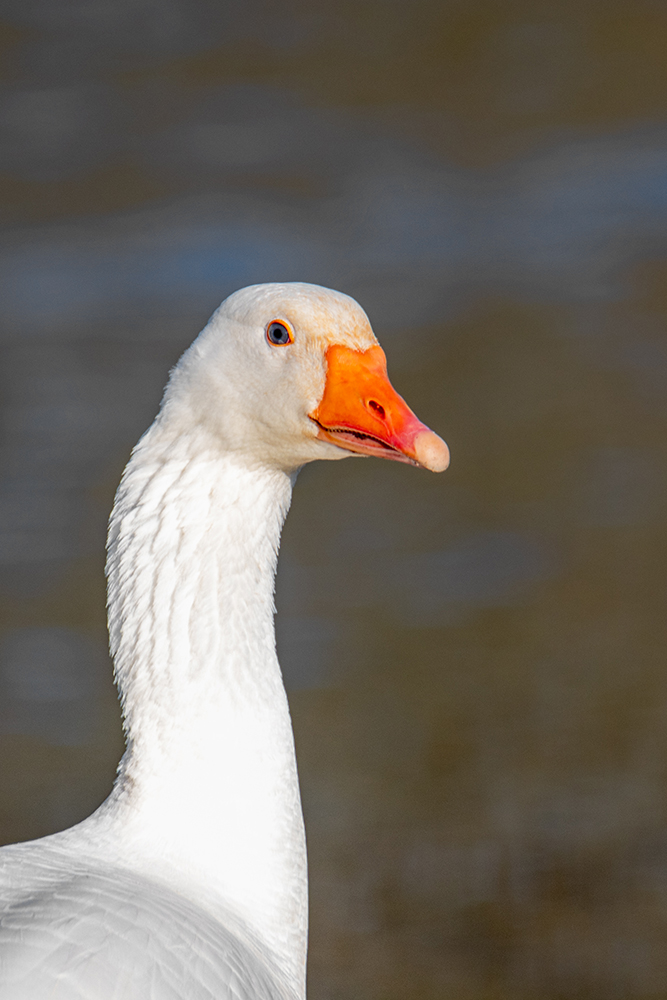 Huisgans - Domestic goose