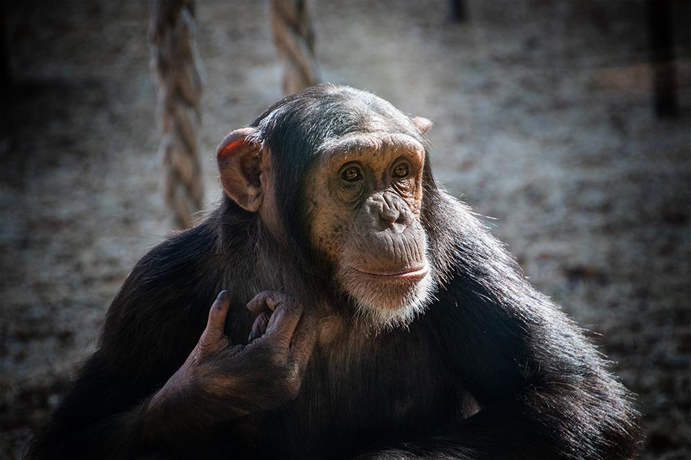 Chimpansee - Chimpanzee (Dierpark Amersfoort)