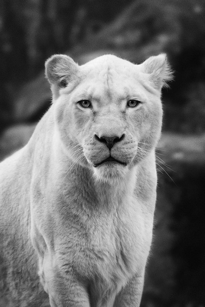 Witte leeuw - White lion (Ouwehandsdierenpark 2018)