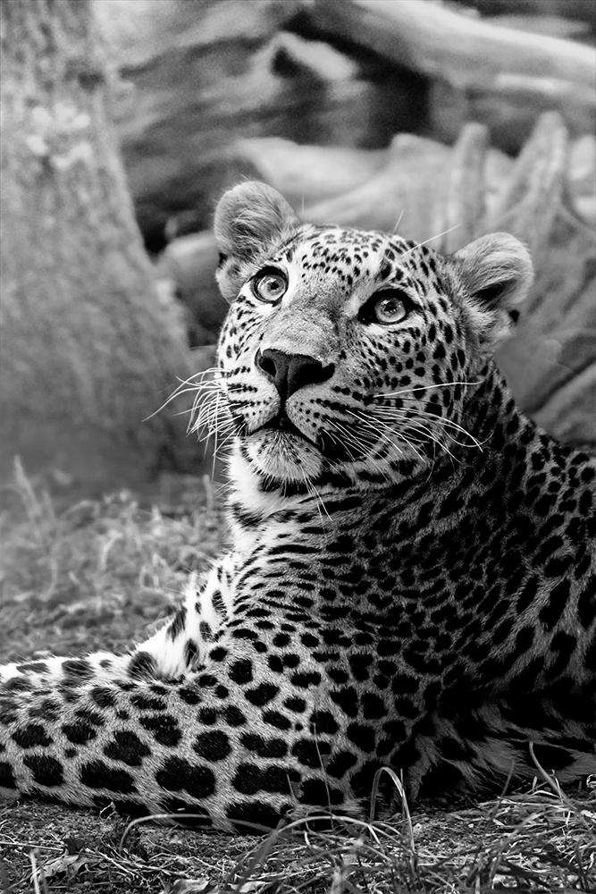 Sri Lankaanse panter - Sri Lankan leopard (Burgers Zoo 2019)