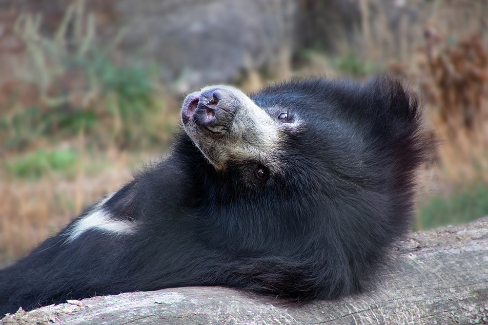 Lippenbeer - Sloth bear (Naturzoo Rheine)